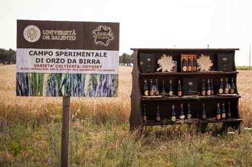 campo-sperimentale-orzo-birra-salento