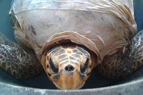 tartaruga-liberata-puglia