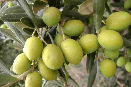 xylella-quick-time-tollerance